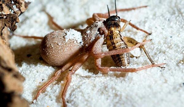 Фото: Шестиглазый песочный паук в природе