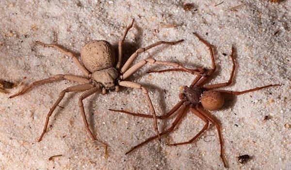 Фото: Шестиглазые песочные пауки