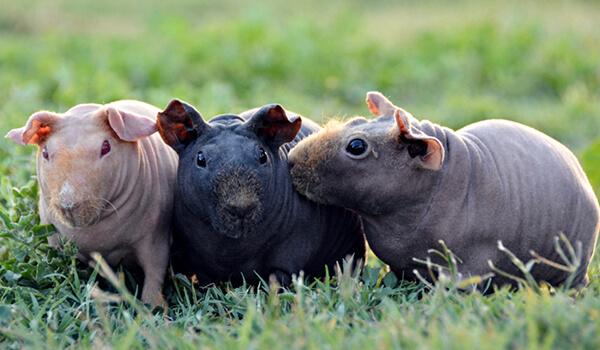 Фото: Свинки скинни