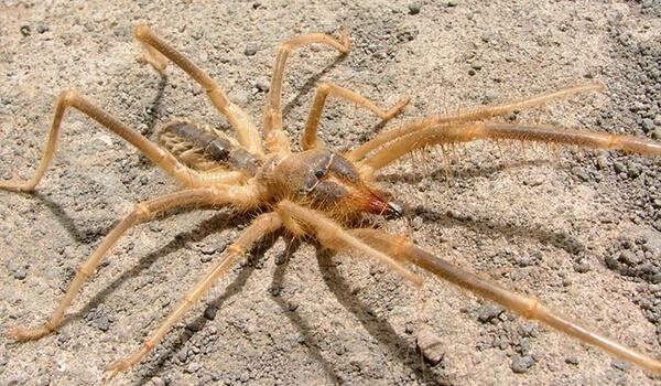 Фото: Как выглядит паук фаланга