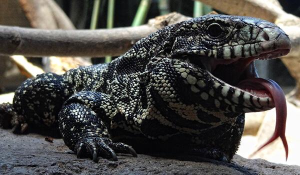 Фото: Пасть ящерицы тегу