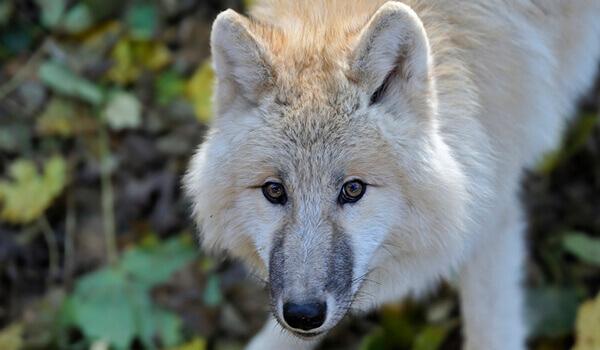 Фото: Хищный тундровый волк