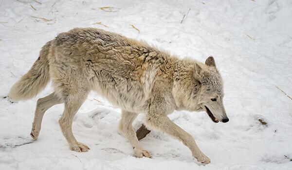 Фото: Как выглядит тундровый волк