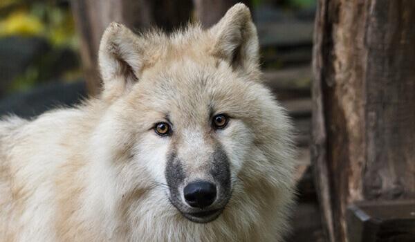 Фото: Тундровый волк