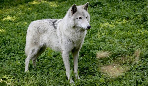 Фото: Тундровый волк в природе