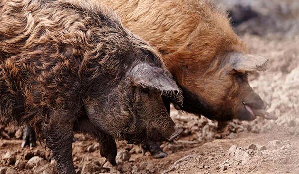 Фото: Мангалица, или овечья свинья