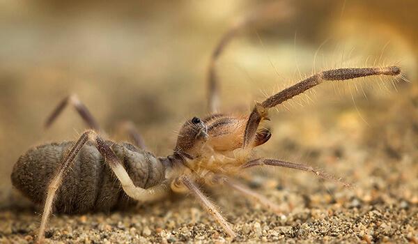 Фото: Верблюжий паук
