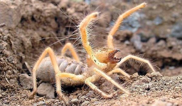 Фото: Верблюжий паук в России