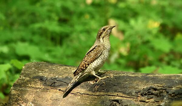 Фото: Птица вертишейка