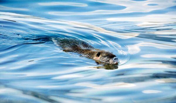 Фото: Водяная полевка в воде