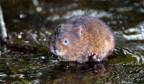 Фото: Мышь водяная полевка