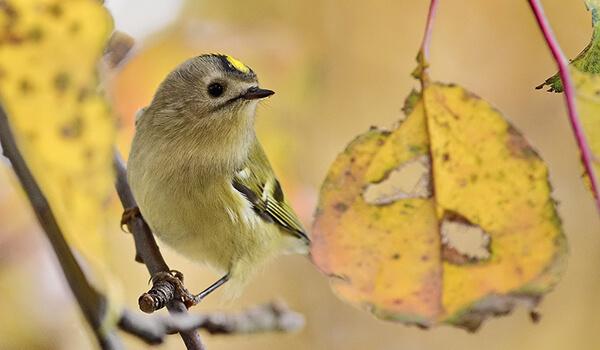 Фото: Птица желтоголовый королек
