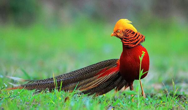 Фото: Золотой фазан