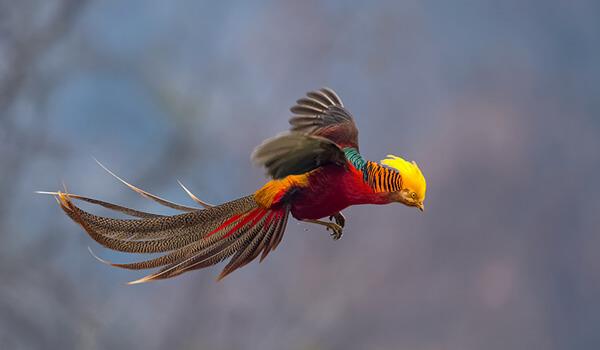 Фото: Золотой фазан в полете