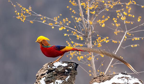 Фото: Как выглядит золотой фазан