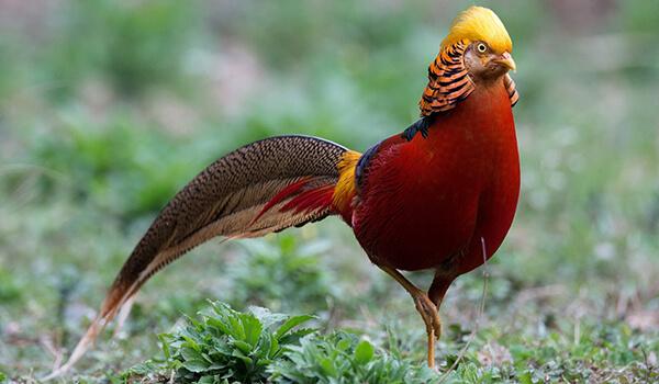 Фото: Золотой фазан в природе
