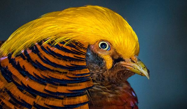 Фото: Золотой фазан в России