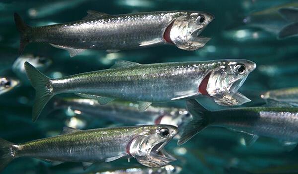 Фото: Рыба иваси
