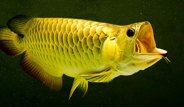 Фото: Рыба аравана
