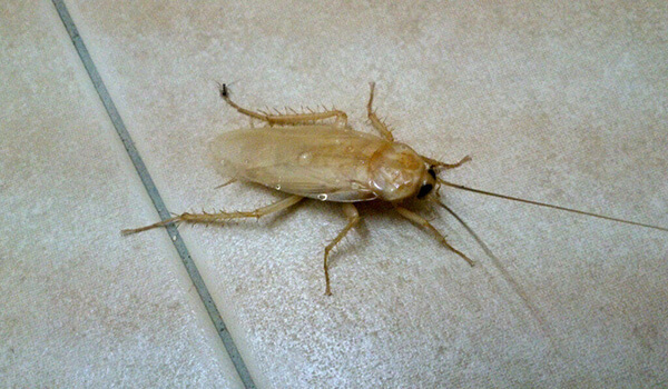 Фото: Белый таракан в квартире