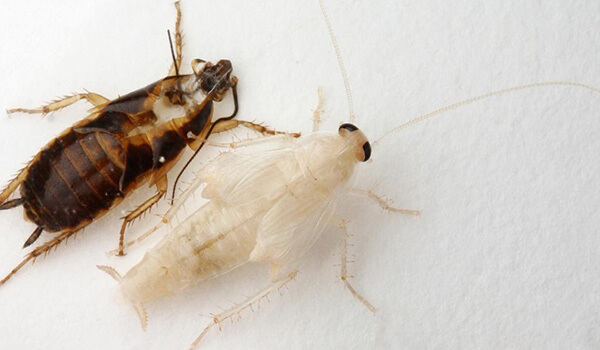 Фото: Черный и белый таракан
