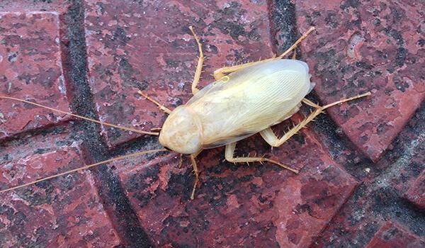 Фото: Белый таракан