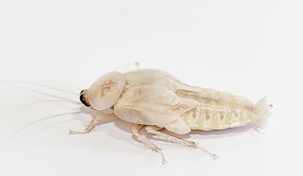 Фото: Как выглядит белый таракан