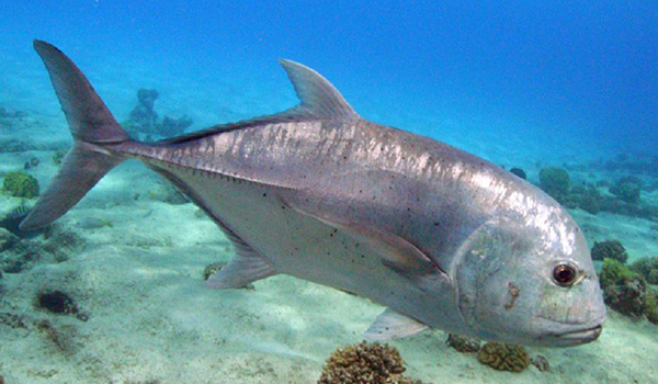 Фото: Рыба каранкс