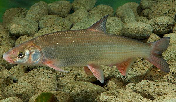 Фото: Рыба подуст