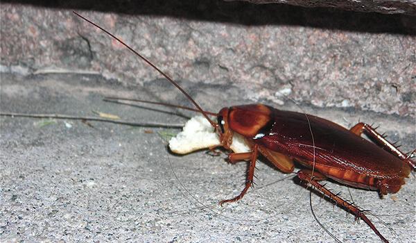 Фото: Большой рыжий таракан