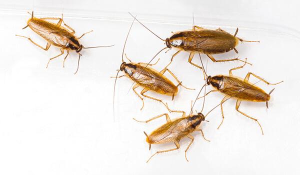 Фото: Маленькие рыжие тараканы