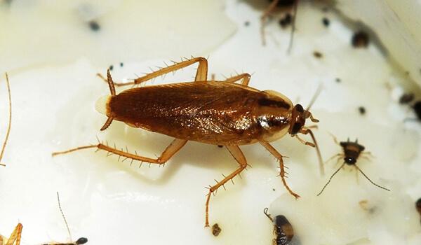 Фото: Домашний рыжий таракан
