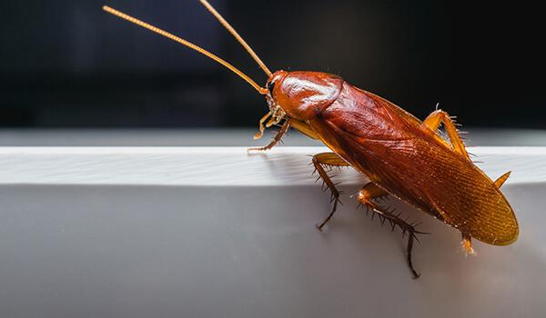 Фото: Как выглядит рыжий таракан