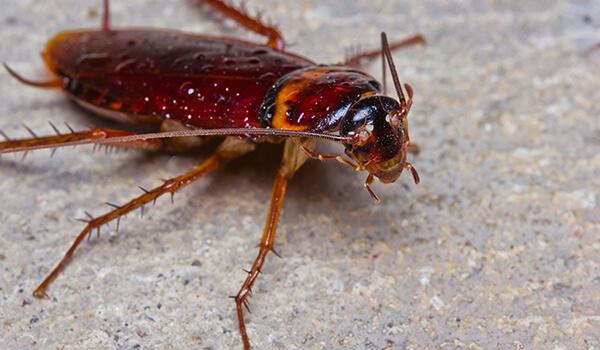 Фото: Рыжий таракан