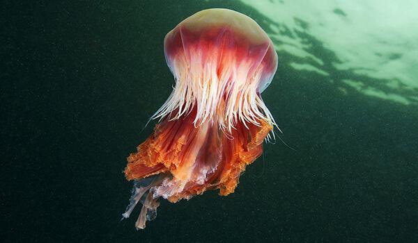 Фото: Медуза цианея