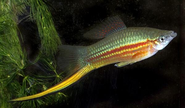 Фото: Рыбка зеленый меченосец