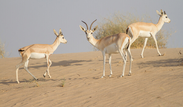 Фото: Джейраны в пустыни