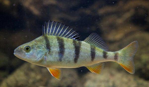 Фото: Рыба речной окунь