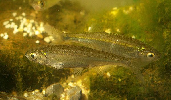 Фото: Рыба уклейка