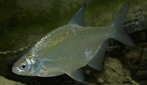 Фото: Рыба густера