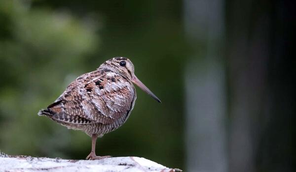 Фото: Птица вальдшнеп