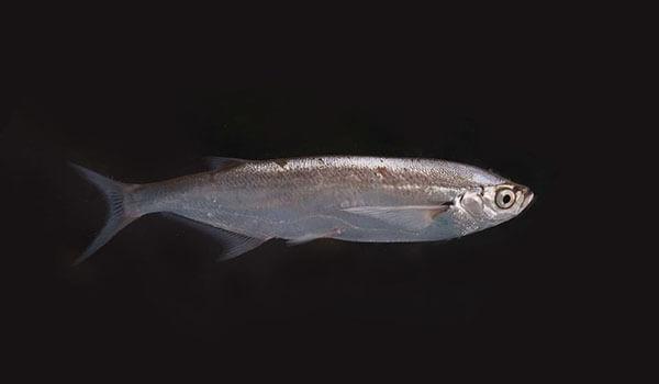 Фото: Рыба чехонь