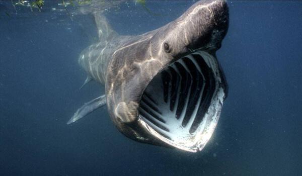 Фото: Гигантская акула под водой