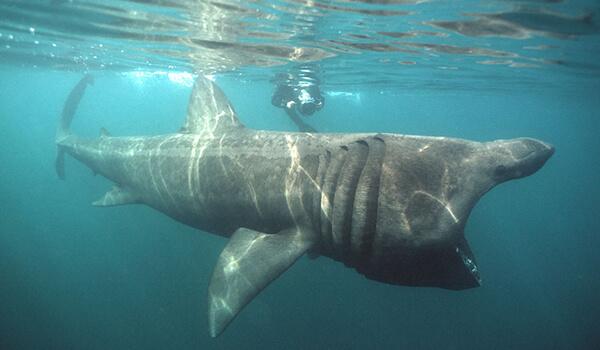 Фото: Гигантская акула в океане