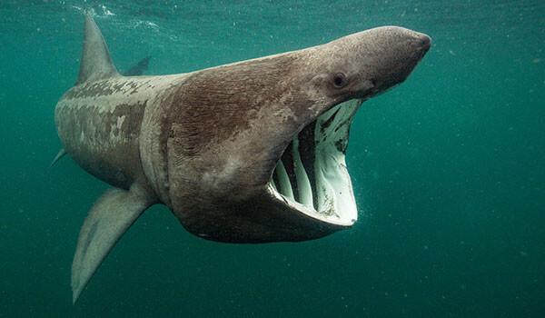 Фото: Гигантская акула