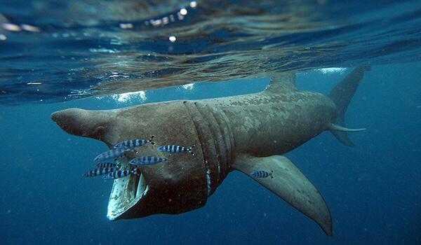 Фото: Гигантская акула из Красной книги