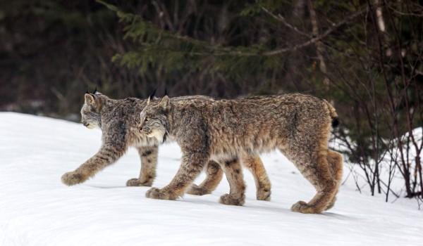 Фото: Канадские рыси из Красной книги