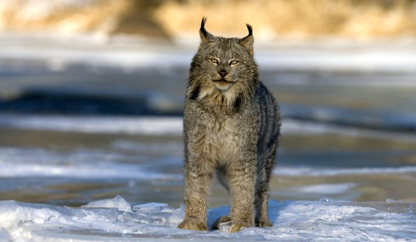 Фото: Хищная канадская рысь