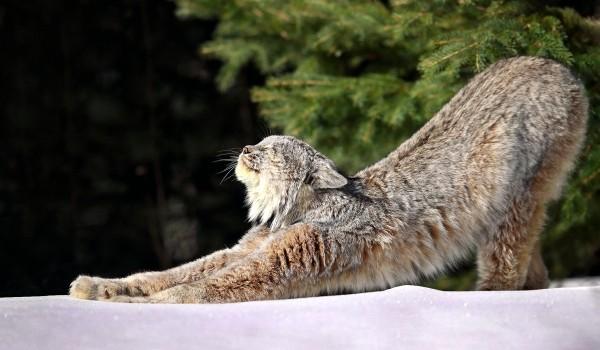 Фото: Канадская рысь