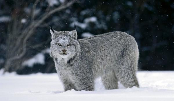 Фото: Канадская рысь зимой